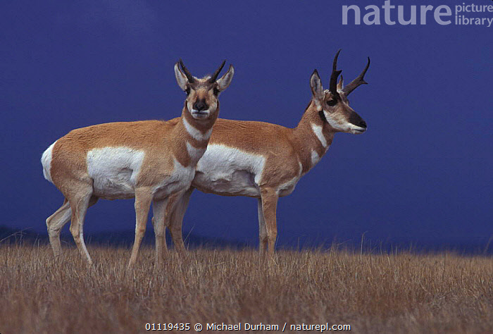 Pronghorn antelope pair {Antilocapra americana} Hart mtn NWR, Oregon, USA  ,  MALE FEMALE PAIR,TWO,NORTH AMERICA,ANTELOPES,GRASSLAND,ARTIODACTYLA,RESERVE,MAMMALS,COUPLE  ,  Michael Durham