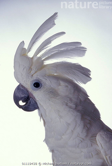 White cockatoo with crest raised {Cacatua alba} captive, from Indonesia  ,  PROFILE,COCKATOOS,PARROT,BIRDS,FEATHERS,PORTRAITS  ,  Michael Durham