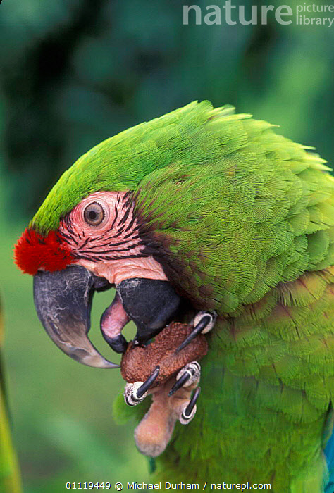 Military macaw feeding on nut from claw, note tongue {Ara militaris} captive, from South America  ,  AMERICA,BIRDS,BEHAVIOUR,PARROTS,Macaws  ,  Michael Durham