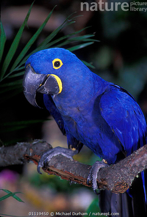 Hyacinth macaw portrait {Anodorhynchus hyacinthinus} captive, from South America  ,  PORTRAITS,PARROTS,BIRDS,PARROT,SOUTH AMERICA,Macaws  ,  Michael Durham