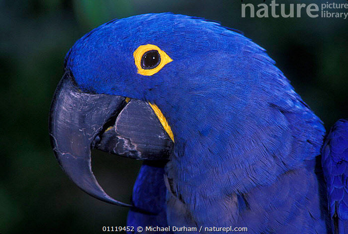 Hyacinth macaw portrait {Anodorhynchus hyacinthinus} captive, from South America  ,  PORTRAITS,PARROT,PARROTS,BIRDS,SOUTH AMERICA,Macaws  ,  Michael Durham