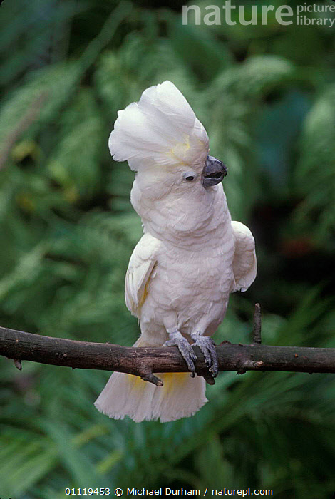 White cockatoo with crest raised {Cacatua alba} captive, from Indonesia  ,  PROFILE,COCKATOOS,BIRDS,FEATHERS,PORTRAITS,PARROT  ,  Michael Durham