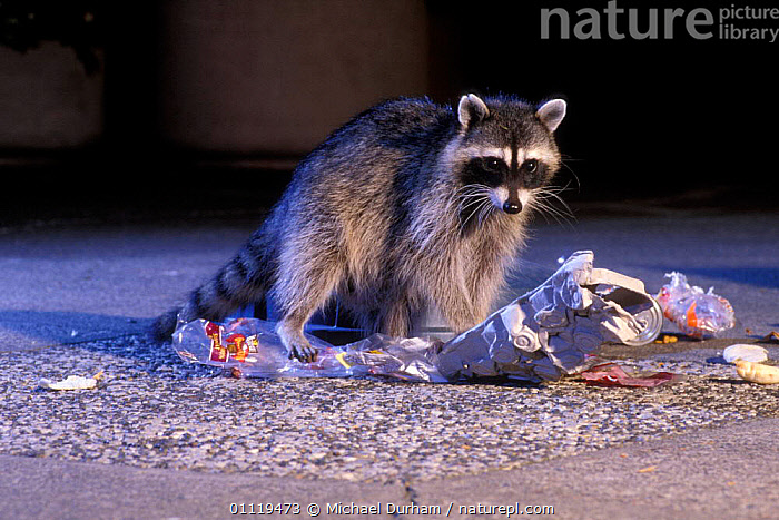 Raccoon raiding urban rubbish site {Procyon lotor} Oregon, USA  ,  CARNIVORES,NOCTURNAL,NIGHT,RACCOONS,BEHAVIOUR,FOOD,SCAVENGING,MAMMALS,REFUSE,FEEDING,NORTH AMERICA  ,  Michael Durham