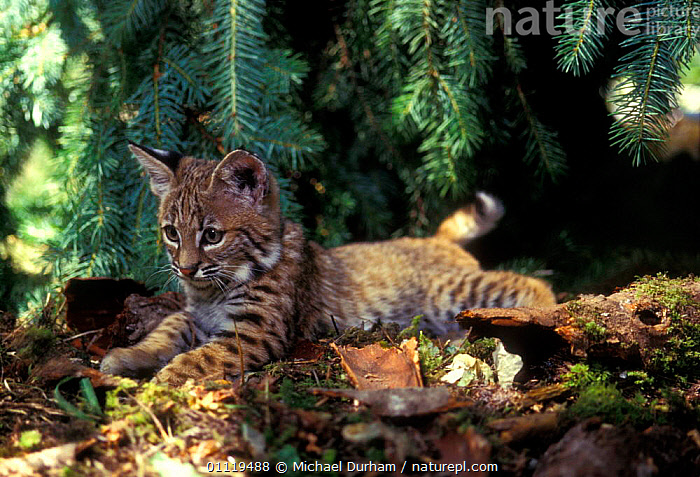 6-week-old Bobcat kitten in rehabilitation centre {Felis rufus} Oregon, USA  ,  BABIES, CARNIVORES, CATS, MAMMALS, VERTEBRATES, WOODLANDS,North America  ,  Michael Durham