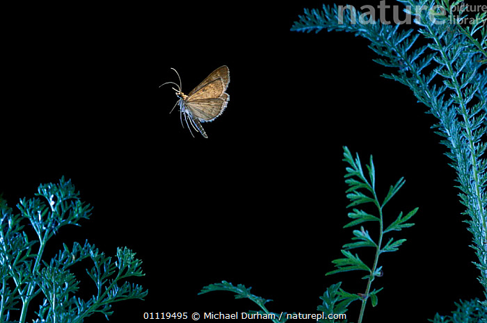 {Geometridae} spanworm moth flying at night, Oregon, USA  ,  INSECTS,LEPIDOPTERA,NORTH AMERICA,NOCTURNAL,Invertebrates,BOATS,DINGHIES, SAILING-BOATS  ,  Michael Durham