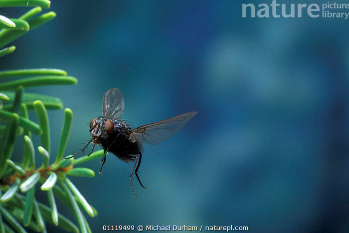House fly flying {Musca domestica} Oregon, USA  ,  INSECTS,MOVEMENT,NORTH AMERICA,BEHAVIOUR,DIPTERA,INVERTEBRATES,FLIES  ,  Michael Durham
