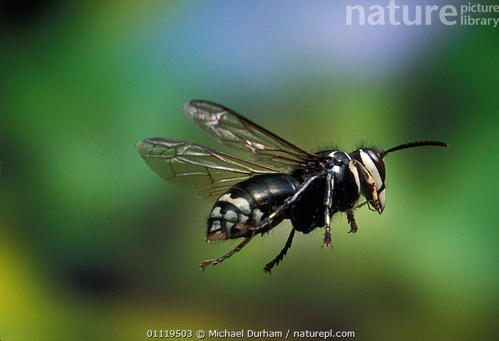 Bald faced hornet {Dolicho- vespula maculata} in flight, Oregon, USA  ,  MOVEMENT,HYMENOPTERA,INVERTEBRATES,WASPS,PESTS,INSECTS,BEHAVIOUR,NORTH AMERICA,FLYING  ,  Michael Durham