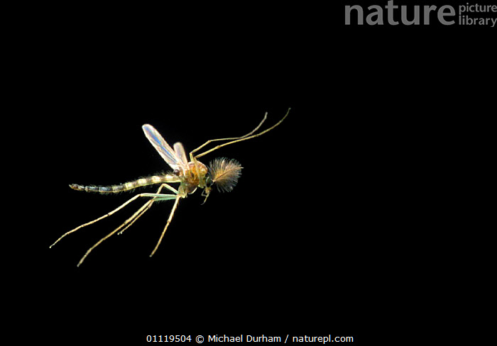 Male Mosquito {Culicidae} in flight, Oregon, USA. Digitally manipulated  ,  INVERTEBRATES,USA,INSECTS,NORTH AMERICA,PESTS,DIPTERA,ANTENNAE,BEHAVIOUR  ,  Michael Durham