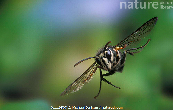 Bald faced hornet {Dolicho- vespula maculata} in flight, Oregon, USA  ,  WASPS,BEHAVIOUR,MANIPULATED,HYMENOPTERA,MOVEMENT,FLYING,INVERTEBRATES,INSECTS,PESTS,NORTH AMERICA  ,  Michael Durham