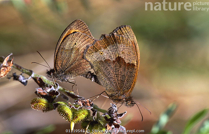 Meadow brown butterflies mating {Maniola jurtina} UK  ,  ARTHROPODS,BUTTERFLIES,BUTTERFLY,COPULATION,ENGLAND,EUROPE,INSECTS,INVERTEBRATES,LEPIDOPTERA,MALE FEMALE PAIR,PAIR,REPRODUCTION,TWO,UK,United Kingdom,British  ,  Steve Knell