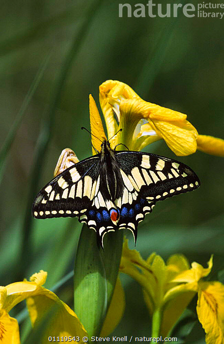 Swallowtail butterfly {Papilio machaon} on Flag iris, Norfolk, England.  ,  BRITISH,BUTTERFLIES,EUROPE,VERTICAL,ENGLAND,INSECTS,INVERTEBRATES,LEPIDOPTERA,UK,WETLANDS,United Kingdom  ,  Steve Knell