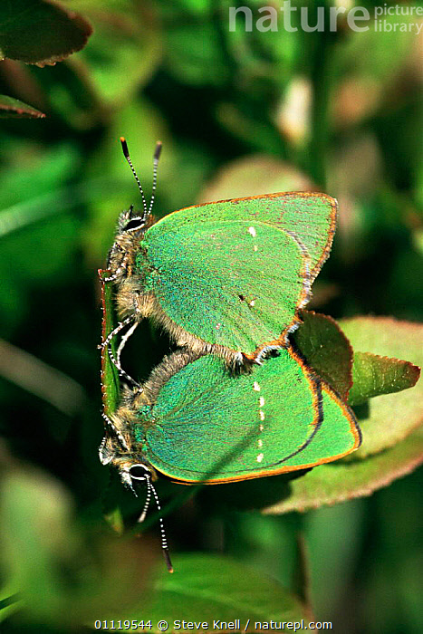 Green hairstreak butterflies mating {Callophrys rubi} UK.  ,  BRITISH,COUPLE,EUROPE,INSECTS,INVERTEBRATES,LEPIDOPTERA,MALE FEMALE PAIR,MATING BEHAVIOUR,REPRODUCTION,UK,United Kingdom  ,  STEVE KNELL