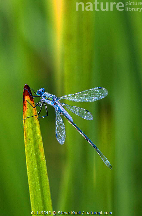 Emerald damselfly, male covered in dew {Lestes sponsa}  ,  BRITISH,DRAGONFLIES,ENGLAND,ODONATA,UK,EUROPE,INSECTS,INVERTEBRATES,United Kingdom  ,  Steve Knell