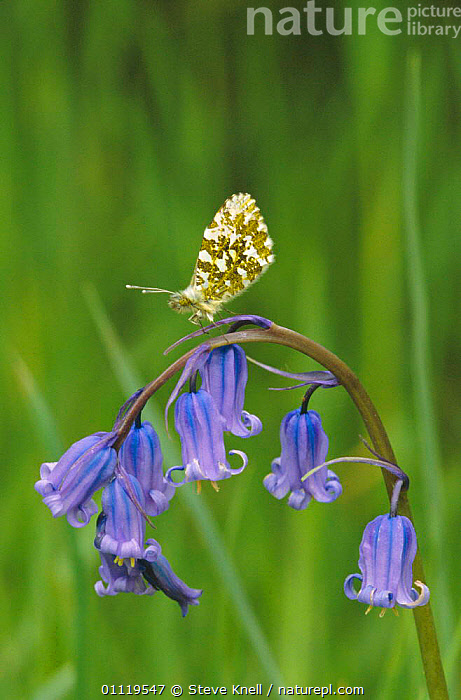 Orange tip butterfly {Anthocharis cardamines} male on Bluebell, England  ,  SPRING,EUROPE,FLOWERS,BUTTERFLIES,INVERTEBRATES,LEPIDOPTERA,UK,INSECTS,BRITISH,United Kingdom  ,  Steve Knell