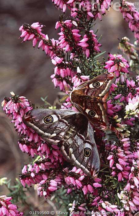 Small emperor moth pair on heather {Saturnia pavonia} UK  ,  CAMOUFLAGE, EMPEROR-MOTHS, ENGLAND, EUROPE, FLOWERS, INSECTS, INVERTEBRATES, LEPIDOPTERA, MALE-FEMALE-PAIR, MOORLAND, MOTHS, two, UK, VERTICAL,United Kingdom  ,  Steve Knell