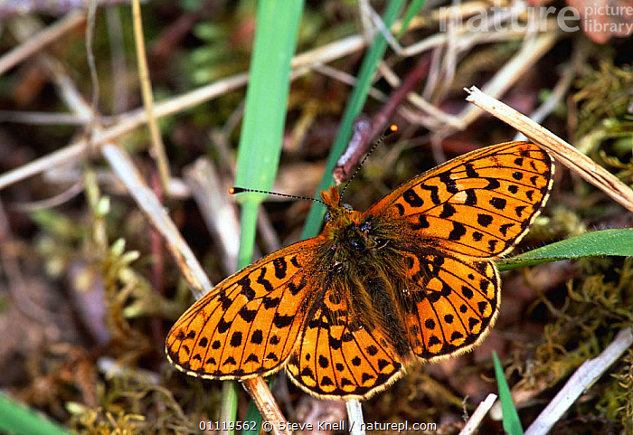 Pearl bordered fritillary {Boloria euphrosyne} England  ,  ARTHROPODS, BUTTERFLIES, EUROPE, INSECTS, INVERTEBRATES, LEPIDOPTERA, UK,United Kingdom  ,  Steve Knell