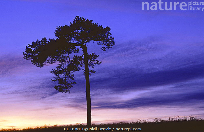 Scots Pine {Pinus sylvestris} silhouetted at dusk, Angus, Scotland, UK  ,  CONIFERS,DUSK,EUROPE,GYMNOSPERMS,PINACEAE,PINES,PLANTS,SCOTLAND,SILHOUETTES,SUNSET,TREES,UK,United Kingdom,British  ,  Niall Benvie