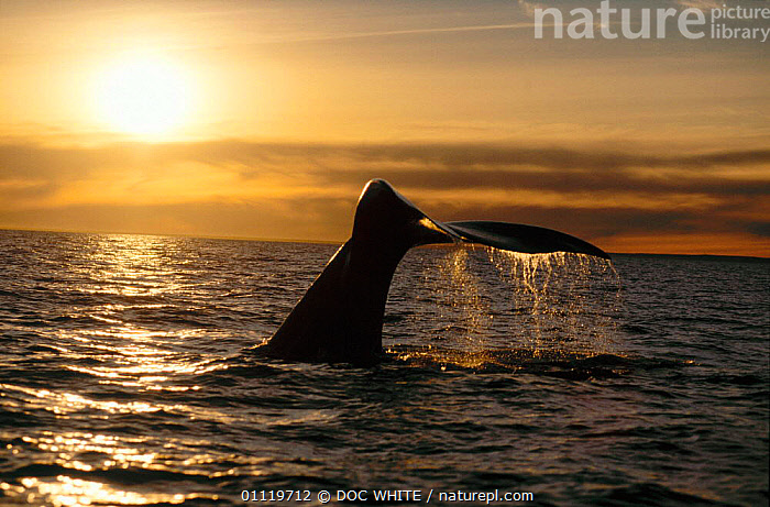 Southern right whale fluke at sunset {Balaena glacialis australis} Off coast of Argentina  ,  TAILS,SOUTH,SOUTH AMERICA,ARGENTINA,AMERICA,FLUKES,CETACEANS,MARINE,OUTSTANDING,WHALES  ,  DOC WHITE
