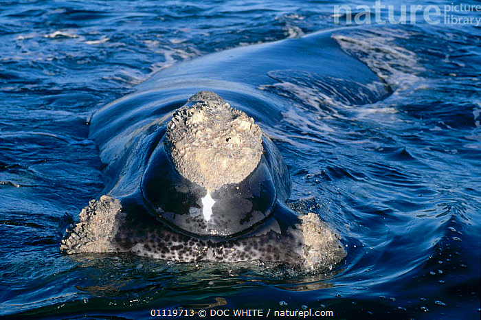 Southern right whale at water surface {Balaena glacialis australis} Off coast of Argentina  ,  ARGENTINA,CETACEANS,FACES,WHALES,MARINE,SOUTH AMERICA,AMERICA,BARNACLES,FACE,SOUTH  ,  DOC WHITE