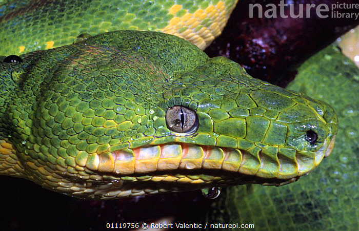 Emerald tree boa portrait {Corallus canina} captive male, from South America  ,  PORTRAITS,SOUTH AMERICA,GREEN,BOAS,SNAKE,EYES,Snakes  ,  Robert Valentic