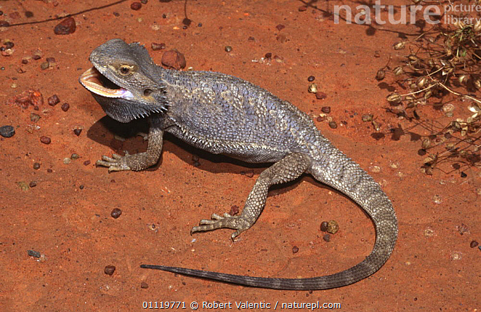 Inland bearded dragon, gravid female threat display {Pogona vitticeps} Queensland, Australia  ,  AGAMAS,AUSTRALIA,BEHAVIOUR,DEFENSIVE,DISPLAY,FEMALES,LIZARDS,PREGNANT,REPTILES,VERTEBRATES,Communication,,Lizards,,,Lizards,  ,  Robert Valentic