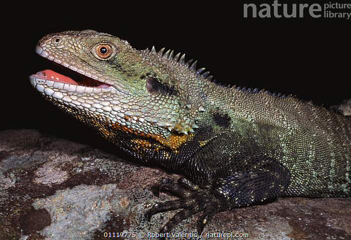 Male Gippsland water dragon {Physignathus leseurii howittii} Victoria, Australia  ,  AUSTRALIA,LIZARDS,MALES,REPTILES,VERTEBRATES,DISPLAY,Communication,,Lizards,,,Lizards,  ,  Robert Valentic