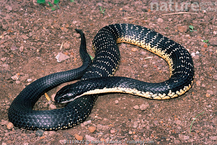 Western tiger snake, male {Notechis scutatus occidentalis} Western Australia.  ,  REPTILES,SNAKES,AUSTRALIA,POISONOUS,,Tigers,Big Cats  ,  Robert Valentic