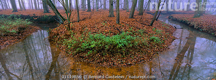 Bend in a stream in beech woodland, autumn, Belgium  ,  PLANTS,TRUNKS,ATMOSPHERIC,HORIZONTAL,FALL,LANDSCAPES,REFLECTIONS,WATER,EUROPEAN,PEACEFUL,TREES,RIVERS,LEAVES,STREAMS,THROUGH,Concepts,Europe,Catalogue1  ,  Bernard Castelein