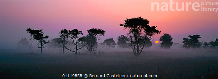 Old pine trees at sunrise in mist {Pinus silvestris} Belgium  ,  HORIZONTAL,COUNTRYSIDE,ATMOSPHERIC,EARLY,LANDSCAPES,SILHOUETTES,PEACEFUL,FIR,PANORAMIC,SILVESTRIS,GROOT,PINUS,DAWN,FOG,MISTY,CALM,Concepts,Europe  ,  Bernard Castelein