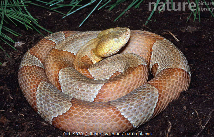 American copperhead {Agkistrodon contortrix laticinctus} captive  ,  POISONOUS,NORTH AMERICA,LATICINCTUS,REPTILES,VIPERS,USA,COILED,Snakes  ,  Robert Valentic