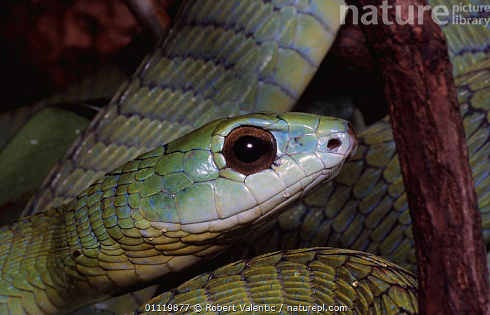 Boomslang {Dispholidus typus} Eritrea, East Africa  ,  NOSE,PORTRAITS,SNAKES,POISONOUS,HEADS,SNAKE,EYES,REPTILES  ,  Robert Valentic