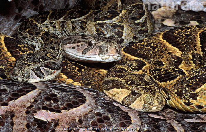 Three adult Puff adders, one in yellow phase {Bitis arietans} South Africa  ,  MORPHISM,COLOUR,SNAKE,SOUTHERN AFRICA,REPTILES,PATTERNS,GROUPS,POISONOUS,Snakes, Adders,Adders,Vipers, Snakes, Adders, Snakes  ,  Robert Valentic
