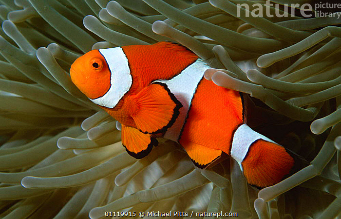 Clown anemonefish {Amphiprion percula} in anemone, West New Britain, Pacific  ,  COLOURFUL,TROPICAL,FISH,MARINE,PACIFIC OCEAN,SYMBIOSIS,UNDERWATER,CORAL REEFS,DAMSELFISH,Concepts,Partnership, Partnership  ,  Michael Pitts