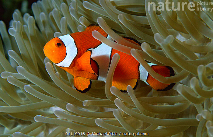 Clown anemonefish {Amphiprion percula} in anemone, West New Britain, Pacific  ,  TROPICAL,DAMSELFISH,PACIFIC OCEAN,FISH,MARINE,SYMBIOSIS,UNDERWATER,Concepts,Partnership, Partnership  ,  Michael Pitts