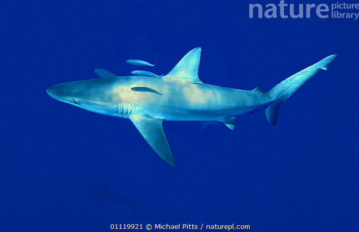 Galapagos shark {Carcharhiinus galapagensis} Pacific  ,  CARCHARHIINUS,MARINE,FISH,SHARKS,PACIFIC OCEAN,TROPICAL,UNDERWATER,SOUTH-AMERICA, Fish  ,  Michael Pitts