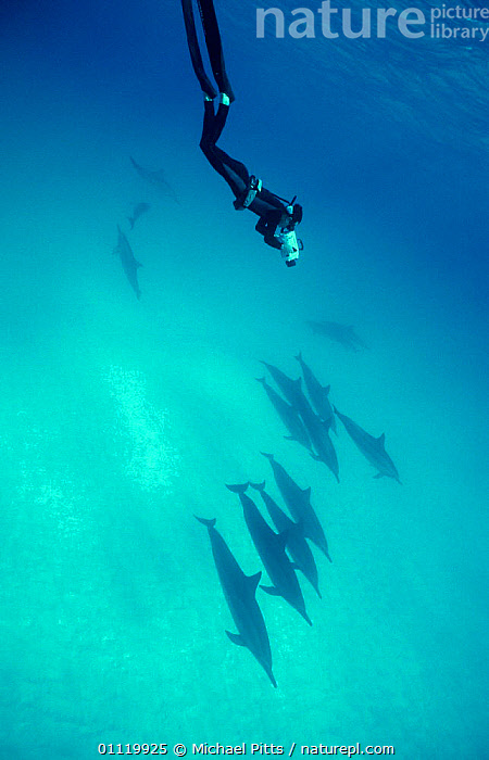 Filming Spinner dolphins {Stenella longirostris} Midway, Pacific  ,  DIVING,MAMMALS,PACIFIC OCEAN,TROPICAL,UNDERWATER,VERTICAL,PEOPLE,CAMERAMAN,POD,CAMERA,CETACEANS,GROUPS,MARINE,WORKING,Dolphins, Mammals  ,  Michael Pitts