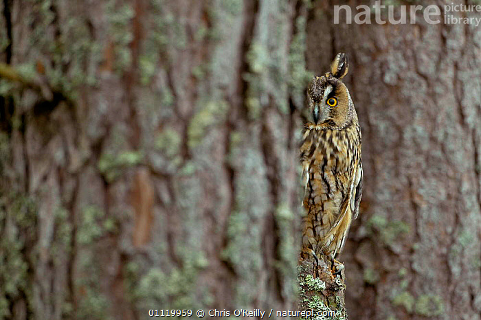 Long eared owl beside tree trunk {Asio otus} female, Scotland, UK, captive  ,  OWLS,BIRDS,HIDING,BIRDS OF PREY,CAMOUFLAGE,TREES,PERCHED,FEMALES,TRUNKS,Europe,United Kingdom,Plants,British,Raptor  ,  Chris O'Reilly
