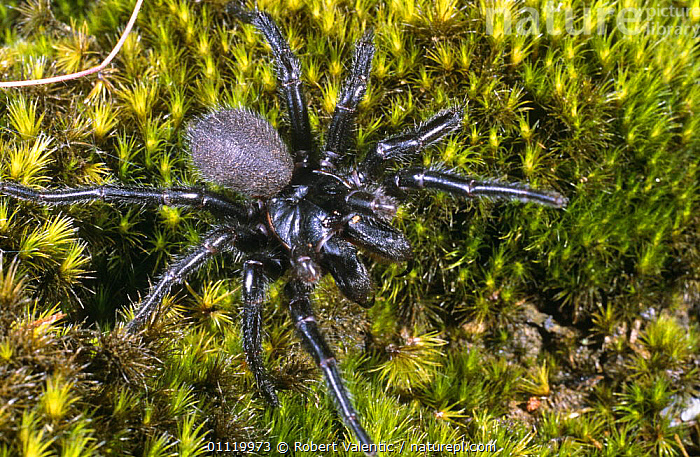 Blue mountain funnel web spider (Hadronyche versuta) New South Wales, Australia  ,  ARACHNIDS,ARTHROPODS,AUSTRALIA,BIG,BLUE,INVERTEBRATES,LARGE,SIZE,SPIDERS  ,  Robert Valentic