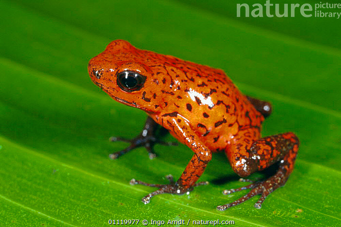 Strawberry poison arrow frog {Dendrobates pumilio} Costa Rica  ,  AMPHIBIANS, Anura, FROGS, POISON-ARROW-FROGS, RED, TROPICAL-RAINFOREST, VERTEBRATES  ,  Ingo Arndt