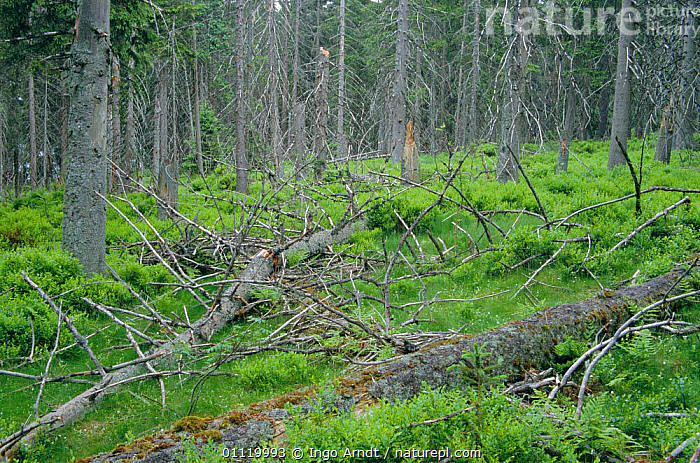 Coniferous woodland in Harz National Park, Saxony, Germany  ,  TREES,LANDSCAPES,BRACKEN,FERNS,RESERVE,Plants,Europe  ,  Ingo Arndt