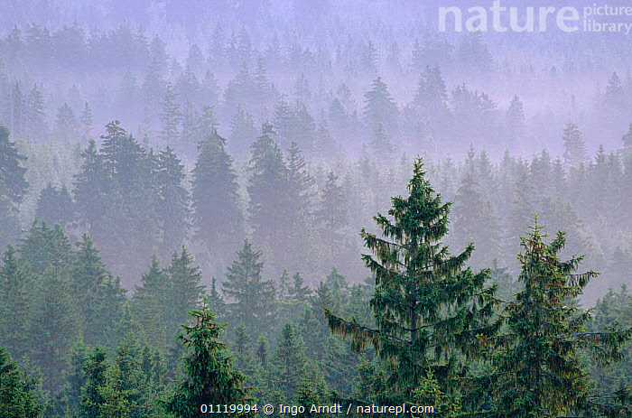 Morning mist over coniferous woodland, Harz National Park, Saxony, Germany  ,  FOG,RESERVE,LANDSCAPES,TREES,Plants,Europe,Catalogue1  ,  Ingo Arndt
