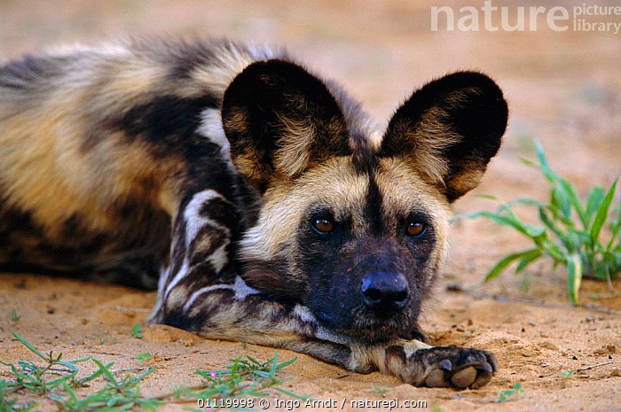 African wild dog resting {Lycaon pictus} Namibia  ,  CARNIVORES,FACES,DOGS,ENDANGERED,MAMMALS,SOUTHERN AFRICA,PORTRAITS,Canids  ,  Ingo Arndt