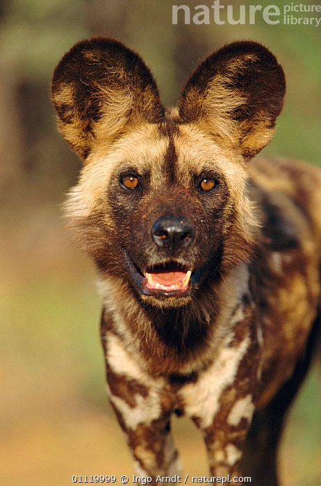 African wild dog portrait {Lycaon pictus} Namibia. Taken under controlled conditions.  ,  CARNIVORES,MAMMALS,PORTRAITS,ENDANGERED,FACES,DOGS,SOUTHERN AFRICA,Canids,Catalogue1  ,  Ingo Arndt