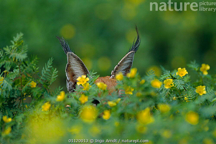 Caracal ears showing over flowers {Felis caracal} Namibia  ,  TUFTS,CATS,SOUTHERN AFRICA,CARNIVORES,MAMMALS,PLANTS,ABSTRACT,CRYPTIC  ,  Ingo Arndt