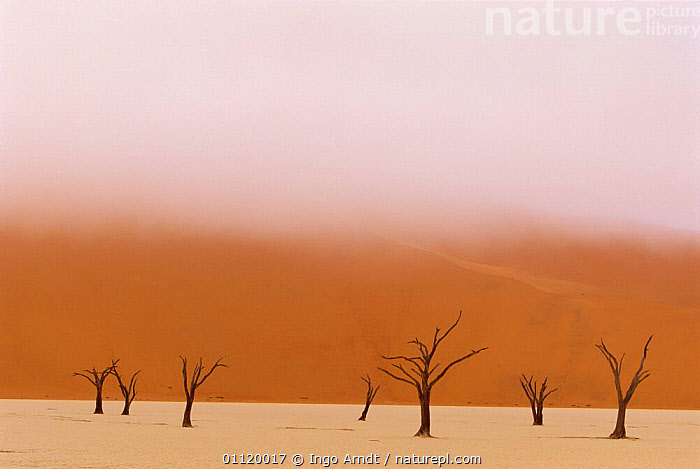 Dead trees in Namib desert, Namib Naukluft NP, Namibia  ,  ABSTRACT,SAND DUNES,LANDSCAPES,MIST,SOUTHERN AFRICA,DEATH,DESERTS  ,  Ingo Arndt