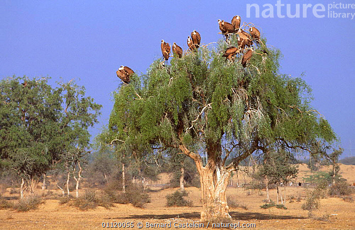 Flock of juvenile Griffon vultures perched in tree {Gyps fulvus} Rajasthan, India  ,  GROUPS,HABITAT,LANDSCAPES,BIRDS,FLOCKS,DESERTS  ,  Bernard Castelein
