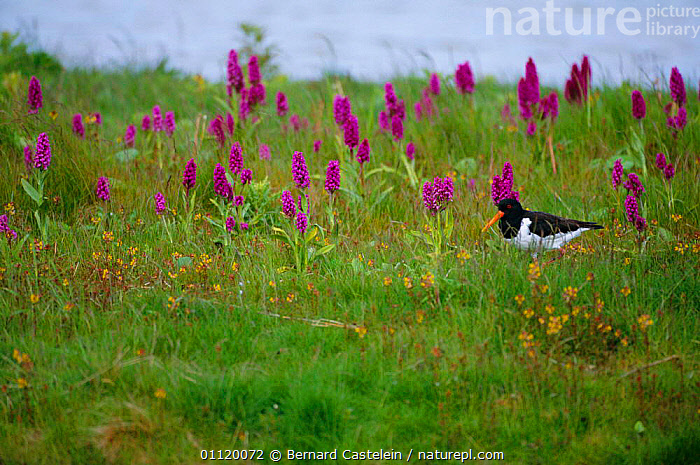 Oystercatcher {Haematopus ostralegus} amongst Irish marsh orchids, Netherlands  ,  WADERS,OYSTERCATCHERS,SPRING,WETLANDS,MAJALIS,DACTYLORHIZA,FLOWERS,HOLLAND,BIRDS,EUROPE,PLANTS  ,  Bernard Castelein