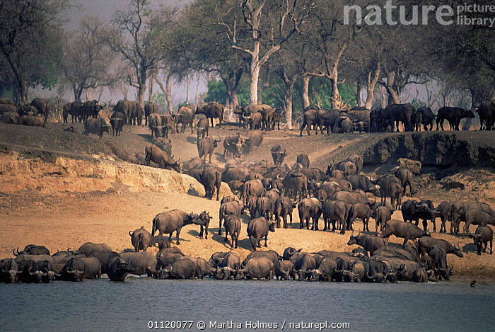 Cape buffalo {Syncerus caffer caffer} large herd drinking in Luangwa river, Zambia.  ,  AFRICA,ARTIODACTYLA,BOVIDS,DRINKING,DRY SEASON,GROUPS,HORIZONTAL,LARGE,MAMMALS,SOUTHERN AFRICA,VERTEBRATES,Cattle  ,  Martha Holmes
