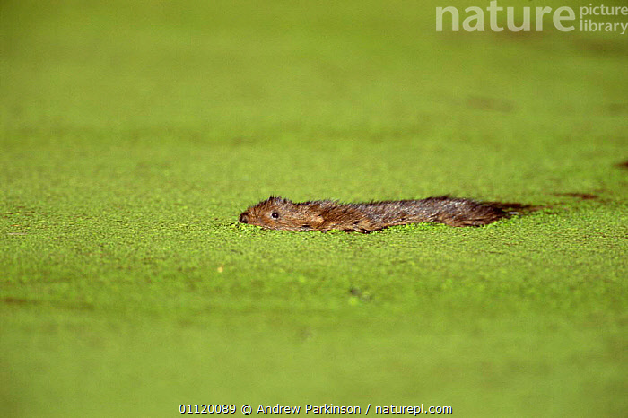 Water vole {Arvicola terrestris} swimming through duckweed. Derbyshire, UK.  ,  EUROPE,ENGLAND,AQUATIC,BEHAVIOUR,FRESHWATER,DUCKWEED,RODENTS,VOLES,PLANTS,UK,MAMMALS,United Kingdom,British,Muridae  ,  Andrew Parkinson