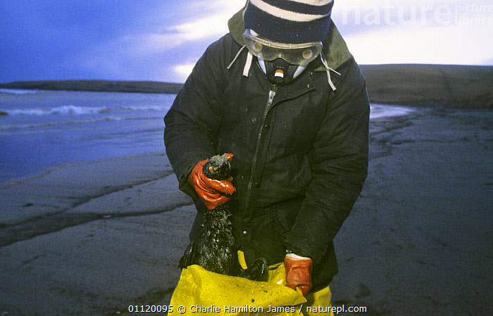 Collecting dead seabirds after Braer oil spill, Sheltand Island, Scotland, UK, 5th January 1993  ,  BEACHES,BIRDS,CARCASS,CLEAN UP,COASTAL WATERS,COASTS,CONSERVATION,CRUDE OIL,DEATH,DISASTER,ENVIRONMENTAL,EUROPE,PEOPLE,POLLUTION,REMOVAL,SCOTLAND,SEABIRDS,UK,United Kingdom,British, United Kingdom, United Kingdom  ,  Charlie Hamilton James